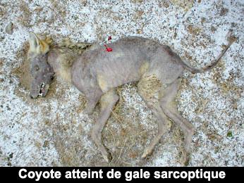 coyote atteint de gale sarcoptique