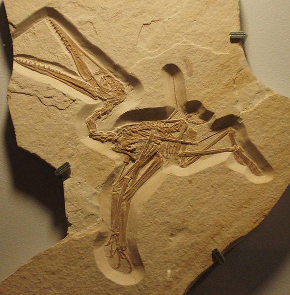 fossile de ptérodactyle