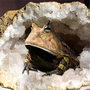Des crapauds trouvés vivants dans un bloc de pierre
