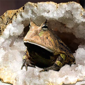 crapaud dans la roche