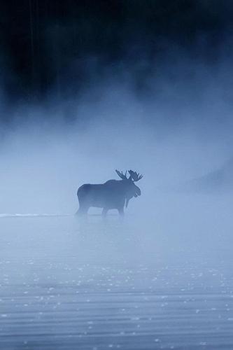 orignal dans la brume
