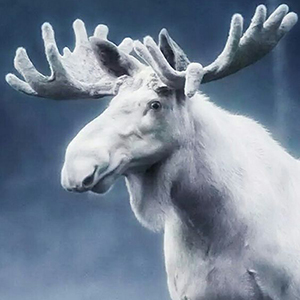 L'orignal géant du Maine: spectre ou animal réel?